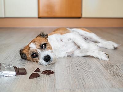 chocoladevergiftiging hond en kat
