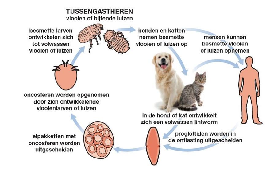lintworm huisdier