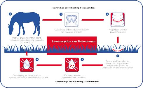 levenscyclus van lintwormen bij paarden