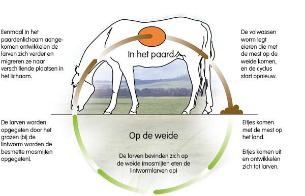 wormcyclus paard