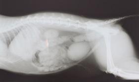 rontgenfoto hond dierenkliniek het zicht