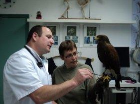 vogelarts marvan behandeld buizerd