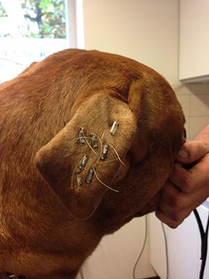 bloemkool oor hond